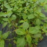 モロヘイヤ:玉造栽培