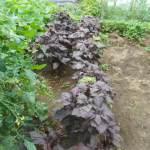 赤シソ:シソジュース用シソの収穫