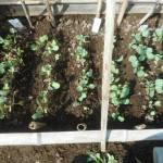 夏播きキャベツ・ブロッコリー:苗の間引き
