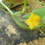 秋キュウリ:雌花の開花が始まる