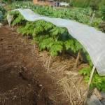 コンニャクイモ:畝に藁を敷く