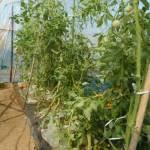 大玉トマト:木下ろし・2回目の追肥