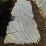 玉ネギ:育苗床の日光消毒