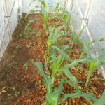 トウモロコシ(2):1回目の潅水を行う