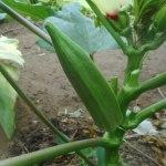 オクラ:種莢2本を確保する