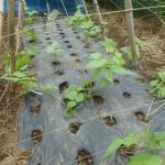 蔓ありインゲン(2):蔓をネットに誘引