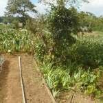 菜園日記:境界線の樹木整枝