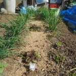 ニラ:6回目の収穫を始める