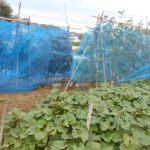 菜園日記:台風19号の強風対策