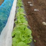 移植白菜:1回目の追肥