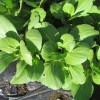 水菜・からし菜・チンゲンサイ:チンゲンサイの収穫を始める