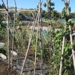 蔓ありインゲン(2):霜で葉が枯れる
