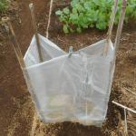 マリーゴールド:苗をPOフィルムの行灯で覆う