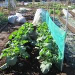 ノラボウ菜:移植苗の追肥・土寄せ