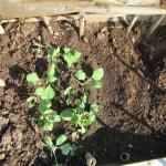 秋播きキャベツ・ブロッコリー:キャベツ苗の堀上