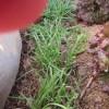 ニラ:8回目の収穫を始める