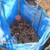 ウド:行灯に乾燥落葉投入を始める