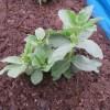 そら豆:アブラムシ対策(防虫剤散布)