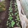 秋播きゴボウ:2回目の防虫剤散布