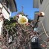菜園日記:庭の梅の開花が始まる