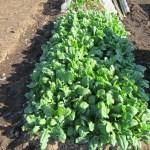 ホウレン草(4):収穫を始める