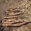 ヤマイモ:全てを掘り上げ貯蔵する