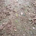 春播きニンジン:発芽が始まる(2)