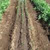 細ネギ:除草・中耕・土寄せ・追肥