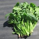 ホウレン草(5):収穫を始める