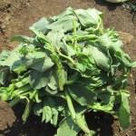 そら豆:脇芽を欠く