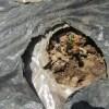 蔓ありインゲン(1):霜焼けした苗の播き穴に再播種する