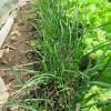 ニラ:1回目の収穫を始める