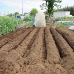 サトイモ:植え溝づくり