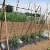 大玉トマト:合掌式支柱を立てる