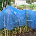 緑肥用麦:種用麦穂の雀対策