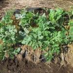 大玉スイカ:露地栽培にする