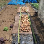 玉ネギ:ネオアースを全て収穫する