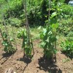 ハヤトウリ:行燈を撤去し露地栽培にする