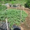 大玉スイカ:カラスの食害対策として園芸ネットを張る