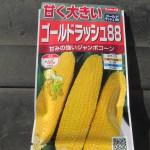 トウモロコシ(2):簡易温床に播種