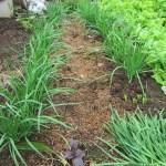 ニラ:3回目の収穫を始める