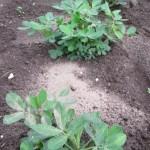 落花生:追肥・1回目の土寄せ(1)