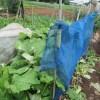 春播きゴボウ:畝の片側に防風ネットの柵をつくる