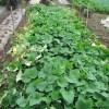 サツマイモ:畝の境界線上に竹杭を打つ