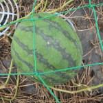 大玉スイカ:2回目の収穫を始める