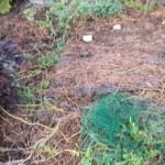 大玉スイカ:残渣を片付ける