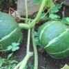 九重栗カボチャ:遅植えの1株に追肥を施す