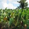 サトイモ:猛暑・干ばつで半分の葉が枯れる