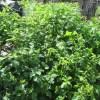 シソ(大葉):収穫を終える