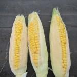 トウモロコシ(2):収穫を終える